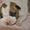 Щенки амеркиканского стаффордшир терьера #597504