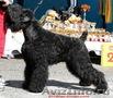 русского черного терьера щенок