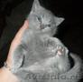 Британский короткошерстный котенок.