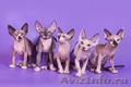 Яркие котята породы канадский сфинкс.