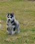 Питомник Русское Сафари (Сибирский Хаски) - Изображение #6, Объявление #1555991
